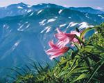 ▲Flowers of himesayuri and the grand view of the Asahi Mountain Range